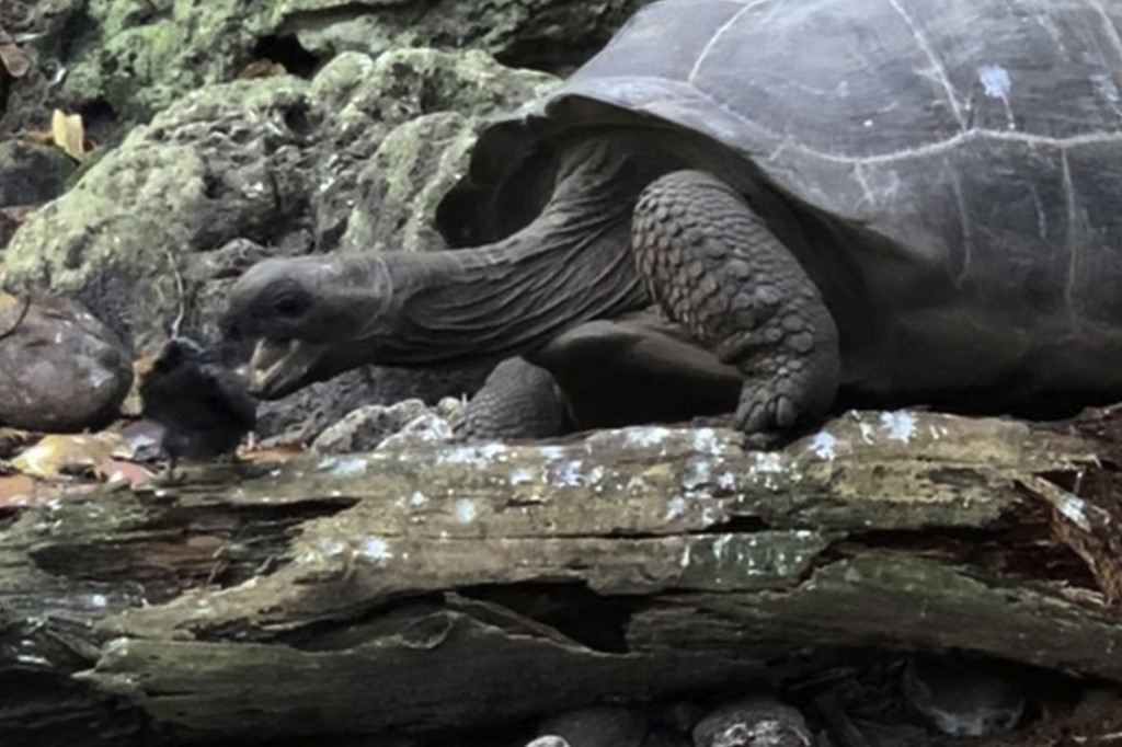 The adult giant tortoise has an uncharacteristic nosh.
